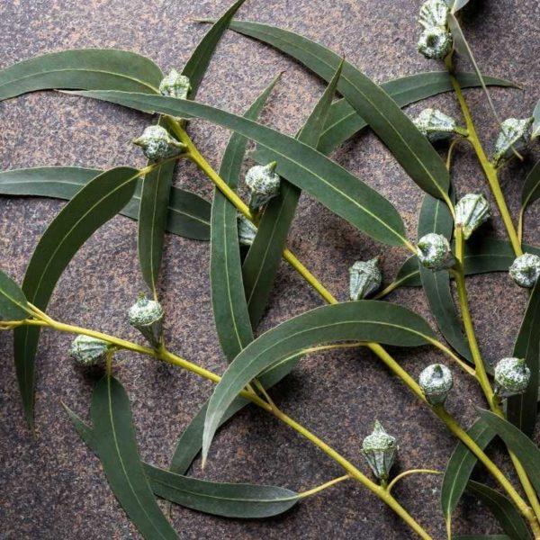 Eucalyptus (1)