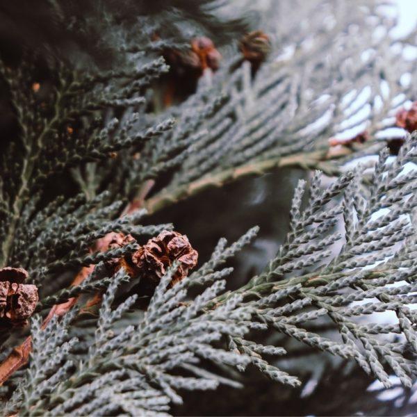 fresh-pine-fir-needle