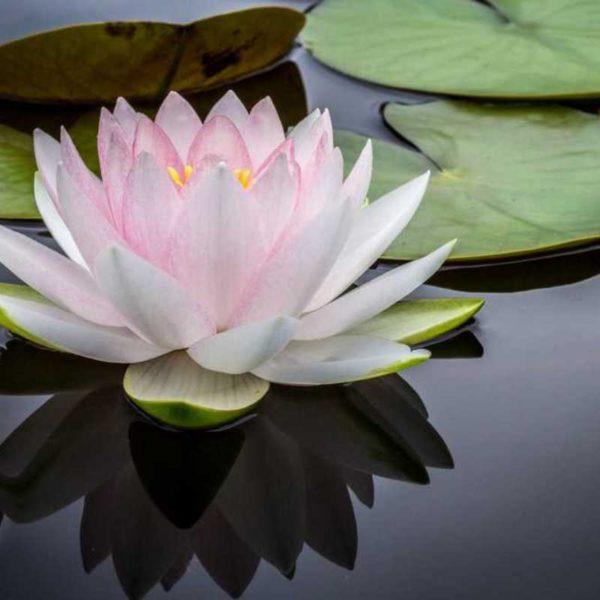 Lotus Flower (1)