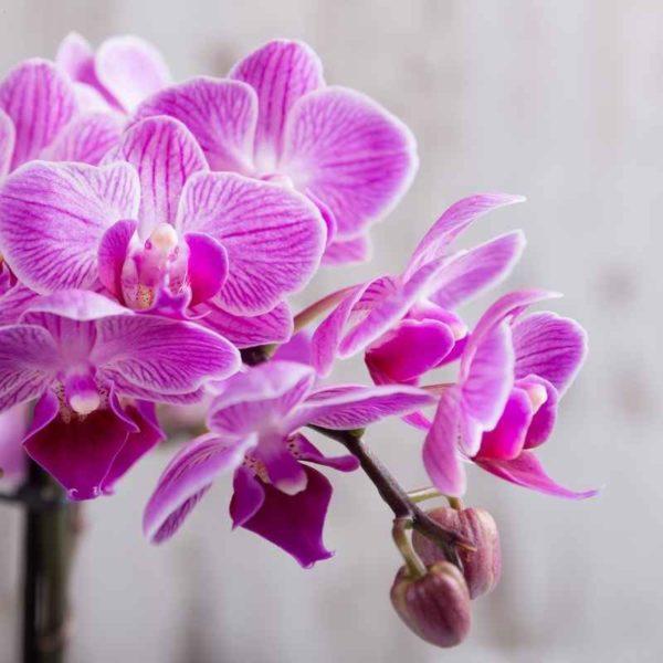 Singapore Orchids I website