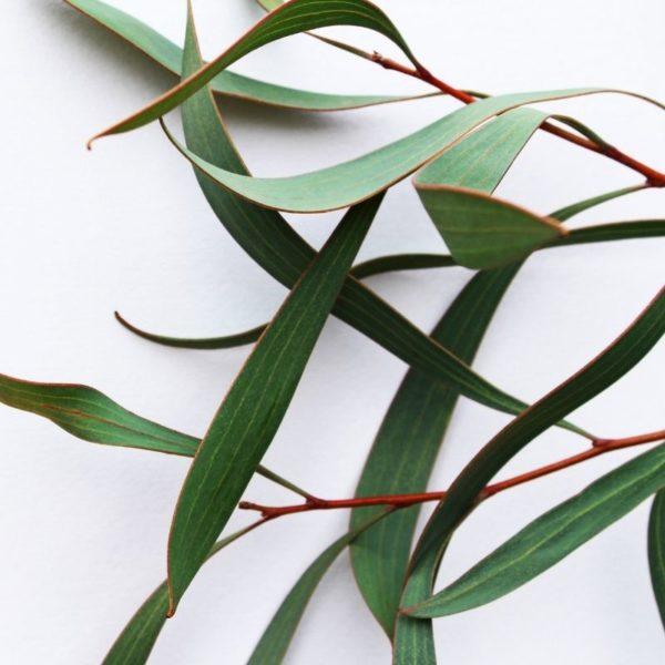 eucalyptus-fragrance